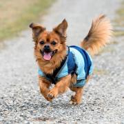 犬種図鑑チワワ