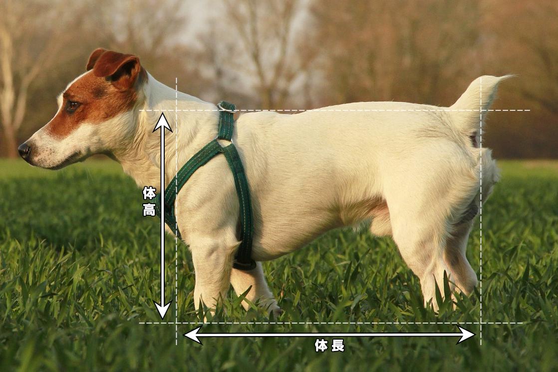 犬の体長と体高