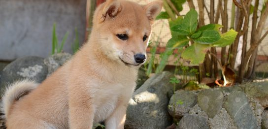 犬種図鑑 柴犬